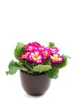 Primula. Close-ups of primula in pot isolated on white royalty free stock photo