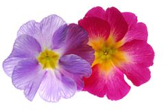 Primula Stock Photo