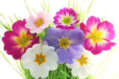 Primula. Colorful primula flowers against white background royalty free stock photography