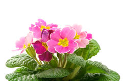 Primula Fotos de Stock