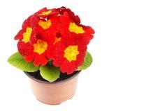 Красный primula Стоковые Фото