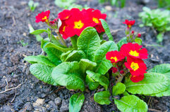 primula Stockfotos