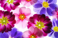 Primula. Close up image of primula flowers royalty free stock image