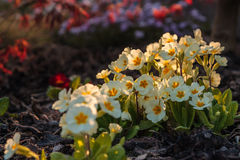Primula acaulis - primrose. One shot from my garden with last rays of sun royalty free stock image