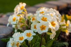 White primrose in the garden Stock Photography