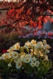 White primula in the garden Stock Photos
