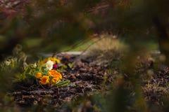 Orange primula in the garden Stock Photography