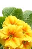 Primula amarelo imagens de stock