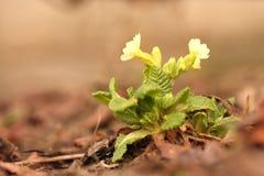 Primula amarelo da mola Fotografia de Stock Royalty Free