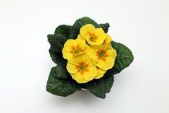Primula amarillo Fotos de archivo