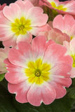 Primula 'Apple Blossom' Royalty Free Stock Image