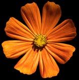 Primula arancio del fiore isolata fotografia stock