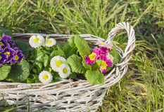 Primula aund daisies spring flowers in white braided basket Royalty Free Stock Image