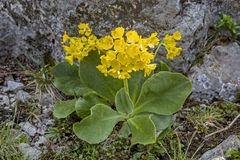 Primula auricula Royalty Free Stock Photo