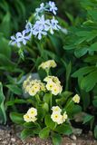 Primula auricula i floksa divaricata w wiosna mieszającej granicie fotografia royalty free