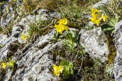 Primula auricula L (auricula, halny cowslip, niedźwiedzia ucho,) r na wapień bazie zdjęcie royalty free