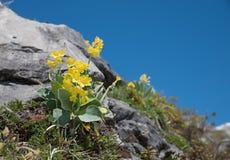 Primula auricula - nied?wiedzia ucho wildflower zdjęcia stock
