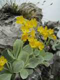 Primula auricula. Is a rare specie. It is found in the high altitudes of the Limestone Alps Stock Photo