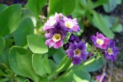Primula auricula, także znać jako halny cowslip obrazy royalty free
