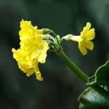 Primula auricula, znać jako halny cowslip kwiat zdjęcie stock