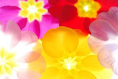 Primula background Royalty Free Stock Images