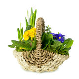 Primula in a basket. Royalty Free Stock Photography