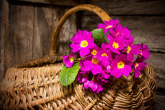 Primula in basket Royalty Free Stock Photos
