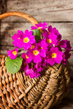 Primula in basket Royalty Free Stock Image