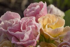 Primula bellarose blooms covered in melting frost Stock Images