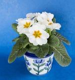Primula bianca e gialla in vaso Immagini Stock