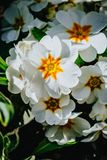 Primula bianca nel giardino Immagini Stock Libere da Diritti
