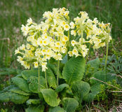 Primula. Blooming primula on mountain meadow royalty free stock images