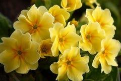 The primula blossoms. Stock Image