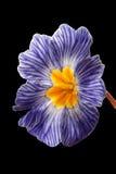 Primula blu Immagine Stock Libera da Diritti