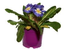 Primula blu immagine stock