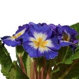 Primula blu fotografia stock