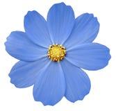 Primula blu del fiore Fondo isolato bianco con il percorso di ritaglio closeup Fotografia Stock Libera da Diritti