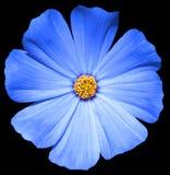 Primula blu del fiore isolata immagini stock libere da diritti