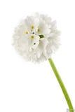 Primula branco Foto de Stock