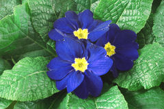 Primula closeup Stock Image