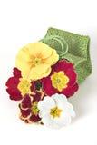 Primula coloré Photos libres de droits