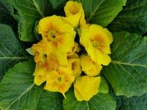 Primula, con i piccoli fiori gialli nel centro delle foglie verdi Immagini Stock Libere da Diritti