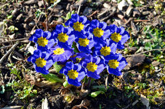 Primula 'Crescendo Blue Shades' Royalty Free Stock Photography