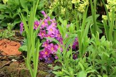 Primula cultivar, spring flower Stock Images