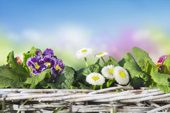 Primula and daisies in basket on blue Royalty Free Stock Photos