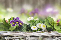 Primula and daisies Decoration in garden Royalty Free Stock Images