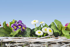 Primula and daisies in white basket on blue sky Royalty Free Stock Images