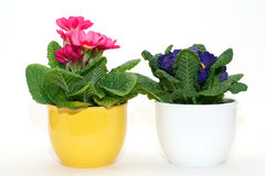 Primula de encontro ao fundo branco Fotografia de Stock Royalty Free