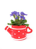 Primula in decorative pot Stock Images