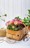 Primula del fiore della primavera in canestro di vimini immagini stock libere da diritti